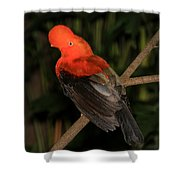 Male Cock Of The Rock Shower Curtain