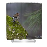 Male Common Chaffinch  Shower Curtain
