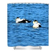 Male Common Eiders Shower Curtain