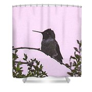 Male Costa's Hummingbird With Mauve Shower Curtain