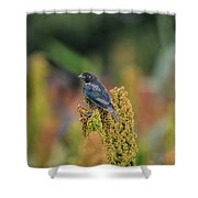 Male Cowbird Feasts On Milo In Shiloh National Military Park, Tennessee Shower Curtain