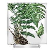male fern, Dryopteris filix-mas Shower Curtain