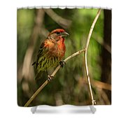 Male Finch In Red Plumage Shower Curtain