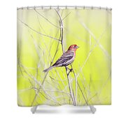 Male Finch On Bare Branch Shower Curtain