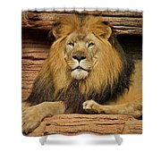 Male Lion Looking Right At Me Shower Curtain