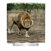 Male Lion On Alert Shower Curtain