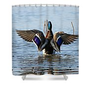 Male Mallard In Glorious Color  7515 Shower Curtain