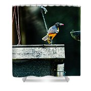 Male Oriole  Shower Curtain