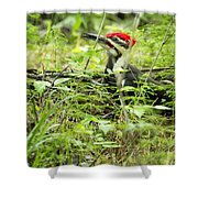 Male Pileated Woodpecker On The Ground No. 2 Shower Curtain