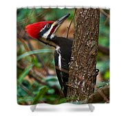 Male Pileated Woodpecker Shower Curtain