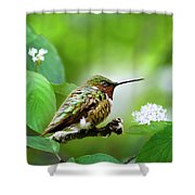 Male Ruby-throated Hummingbird At Rest Shower Curtain