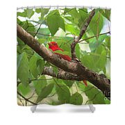 Male Summer Tanager Shower Curtain