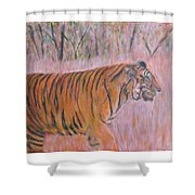 Adult Male Tiger Of India Striding At Sunset  Shower Curtain