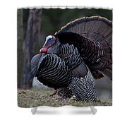 Male Wild Turkey, Meleagris Gallopavo Shower Curtain