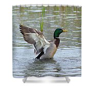 Mallard Duck Landing In Pond Shower Curtain