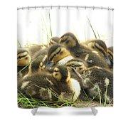Mallard Ducklings Shower Curtain