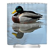 Mallard Duck Drake On Ice II Shower Curtain