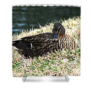 Mallard Female 1 Shower Curtain