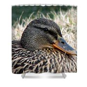 Mallard Female 2 Shower Curtain