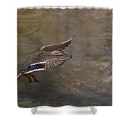 Mallard Landing On Thompson's Pond Shower Curtain