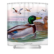 Mallard Or Wild Duck Antique Bird Print Joseph Wolf Birds Of Great Britain  Shower Curtain