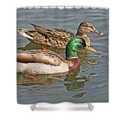 Mallard Pair Swimming, Waterfowl, Ducks Shower Curtain