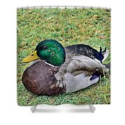 Mallard Resting Shower Curtain