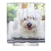 Maltese Dog Is Laying Next To Pile Of Hair Shower Curtain