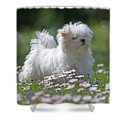 Maltese Shower Curtain