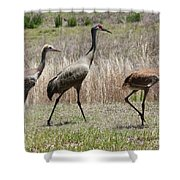 Mama And Two Juvenile Sandhill Cranes Shower Curtain