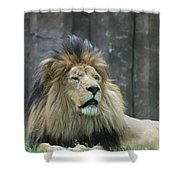 Mane Standing Up Around The Head Of A Lion Shower Curtain