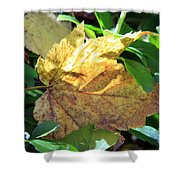 Maple Leaf Shower Curtain by Kathy DesJardins