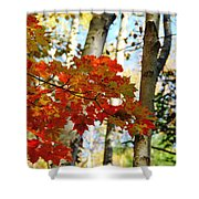 Maple Leaves And Birch Bark Shower Curtain