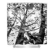 Maple Trees In Black And White Shower Curtain