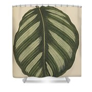 Maranta Fasciata Shower Curtain