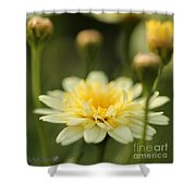 Marguerite Daisy Named Madeira Crested Primrose Shower Curtain