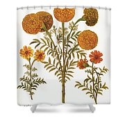 Marigolds, 1613 Shower Curtain