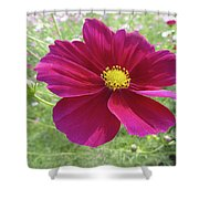 Maroon And Yellow Cosmos Shower Curtain