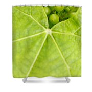 Maturing Wine Grapes Shower Curtain by Gaspar Avila