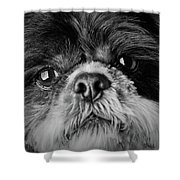 Max - A Shih Tzu Portrait Shower Curtain