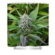 Medicinal Marijuana Growing Shower Curtain