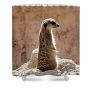 Meerkat Standing On Rock And Watching Shower Curtain