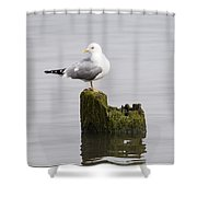 Mew Gull On A Piling Shower Curtain