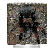 Mexican Redleg Tarantula Shower Curtain