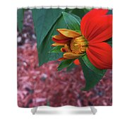 Mexican Sunflower In Mid Bloom Shower Curtain