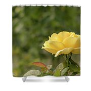 Michelangelo Hybrid Tea Rose, Yellow Rose Originally Produced B Shower Curtain