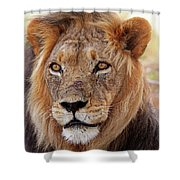 Mighty Lion In South Africa Shower Curtain