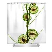 Milkweed, Gomphocarpus Physocarpus Shower Curtain