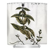 Mint Plant, 1735 Shower Curtain