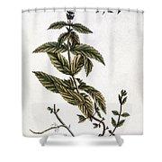 Mint Plant, 1735 Shower Curtain